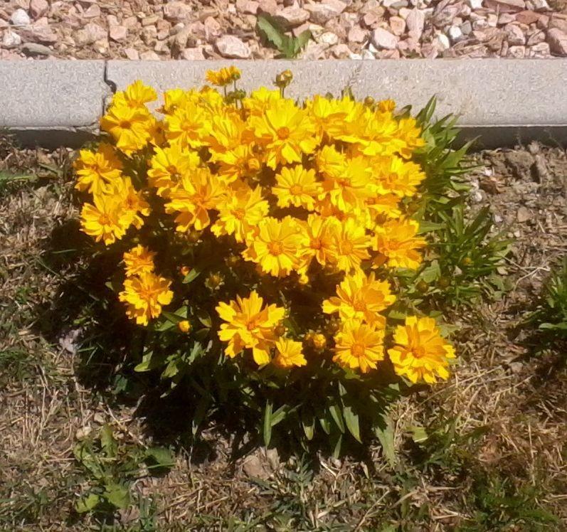 Piante perenni da bordura fiori da bordura piante for Piante da bordura perenni
